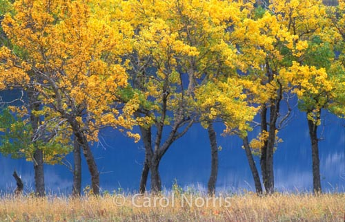 America-Montana-Glacier-National-Park-fall-golden-trees