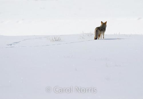 America-Yellowstone-national-park-montana-coyote-winter-snow-footprints