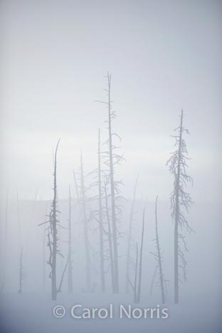 America-yellowstone-national-park-hot-springs-winter-dead-trees-mist-steam