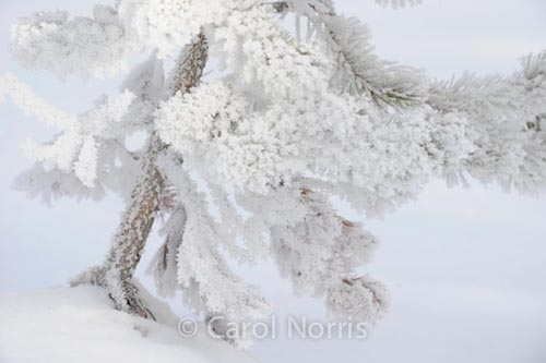 America-yellowstone-national-park-winter-hawfrost-tree-snow-montana-4