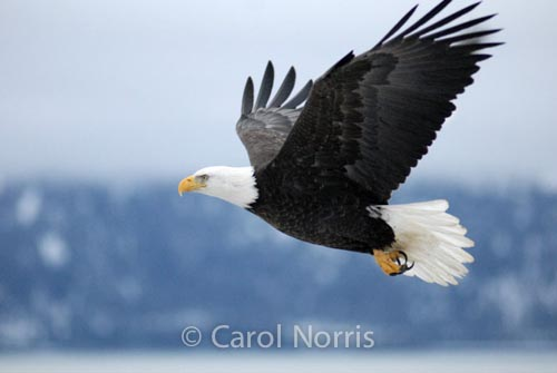 American-bald-eagle-mature-adult-flying-Alaska-bird