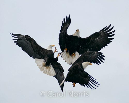 American-bald-eagle-mature-adults-fighting-three-trio-trinity-fish-birds