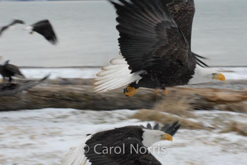 American-bald-eagles-mature-two-flying-mirrored-winter-Alaska-birds