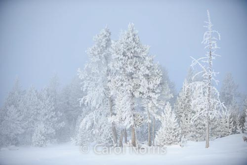 Americana-Yellowstone-National-Park-haw-frost-winter-trees-2