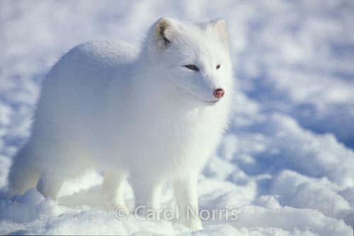 Arctic-fox-Arctic-snow