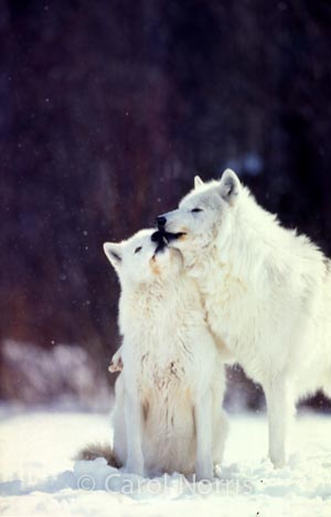 Arctic-wolves-kissing