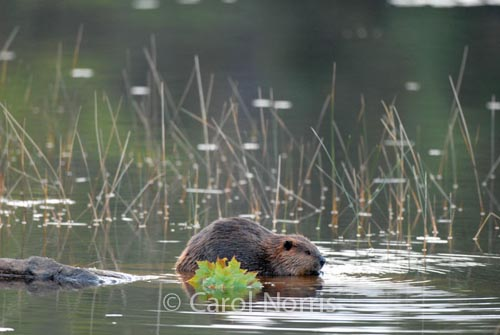 Beaver-Maple-leaf-Lake-Algonquin-Park