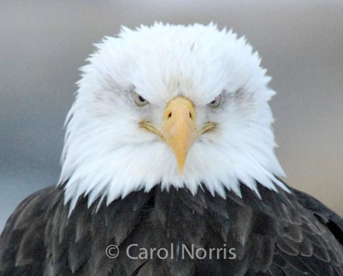 Bird-American-bald-eagle-male-grumpy-chief-angry-boss