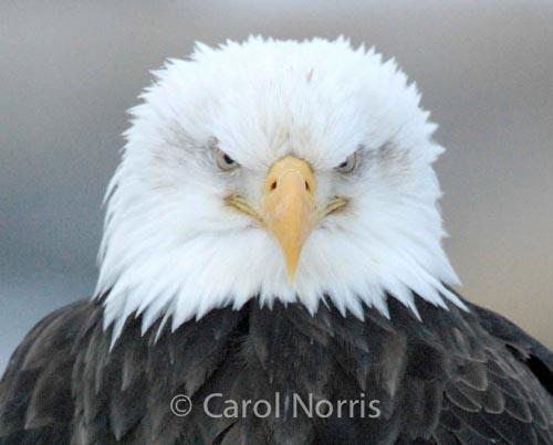 Bird-American-bald-eagle-male-grumpy-chief-angry-boss