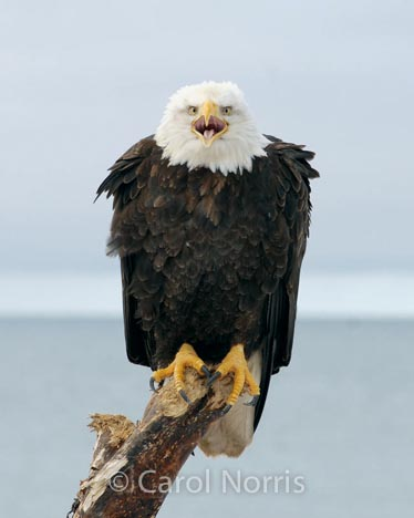 Bird-American-bald-eagle-watchman-male-adult-driftwood-Alaska