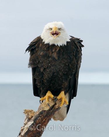 Bird-American-bald-eagle-watchman-male-adult-driftwood-Alaska