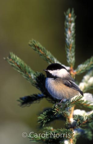 Bird-black-capped-chickadee-winter-north-American
