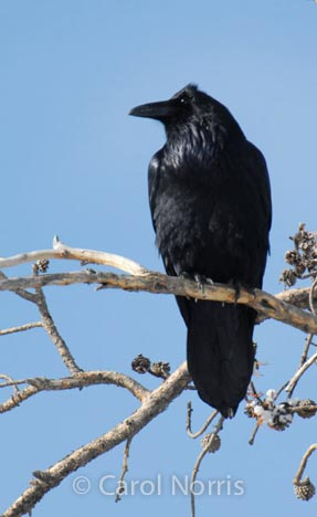Bird-black-night-raven-branch-north-American