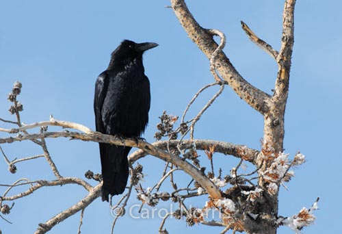 Bird-black-raven-north-America