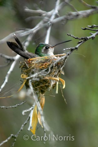 Bird-hummingbird-broad-billed-Arizona-nest-sitting