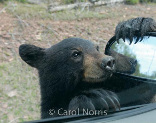 Black-bear-car-baby