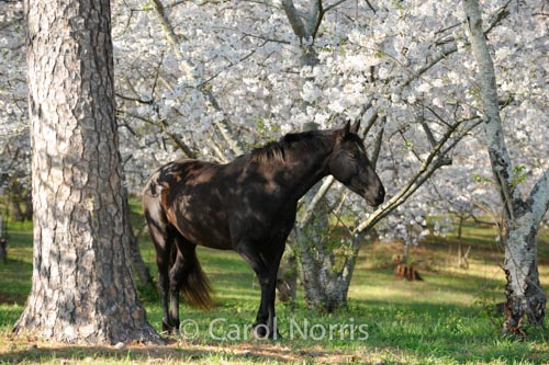 Black-horse-cherry-blossom-orchard-Georgia