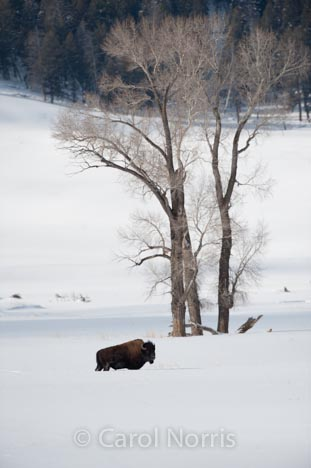 Buffalo-tree-snow-winter-Yellowstone
