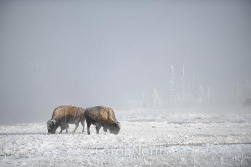 Buffalo-winter-Yellowstone-National Park