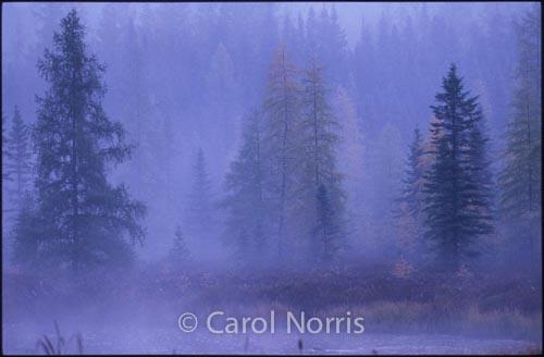 Canada-Ontario-Algonquin-Park-trees-mist-purple