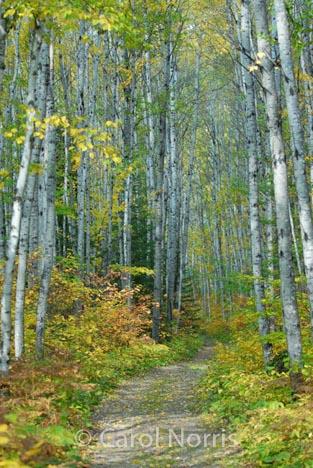 Canada-Ontario-silver-birch-fall-pathway