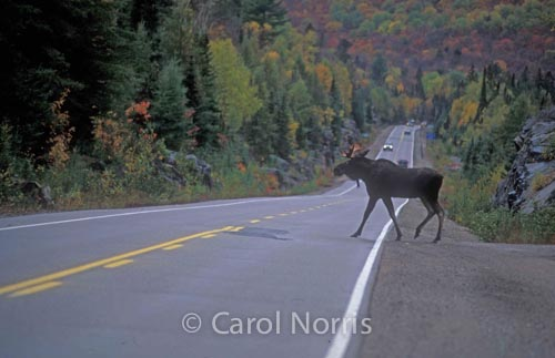 Canada-bull-moose-crossing-road