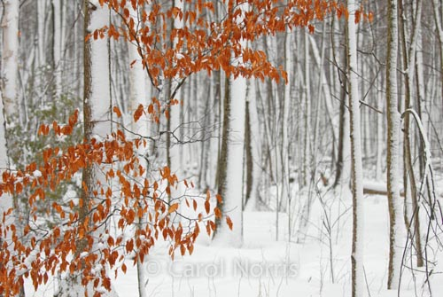 Canada-fall-winter-leaves-snow-forest