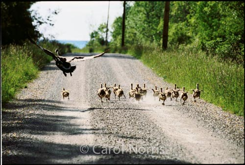 Canadian-Canada-geese-goslings-running-flying-Ontario-birds