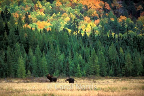 Canadiana-fall-colours-moose-bull-and-cow-Algonquin-park