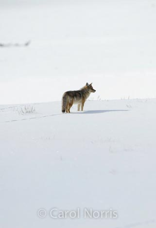 Coyote-snow-Yellowstone
