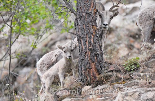 Dall-sheep-mother-baby-North-America