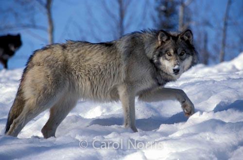 Gray wolf-Ontario-Snow