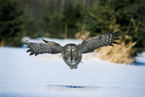 Great-grey-owl-take-off-landing-ontario-snow-phantom-of-the-north-bird-