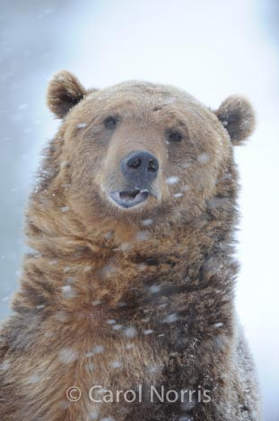 Grizzly-bear-brown-goofy-snow