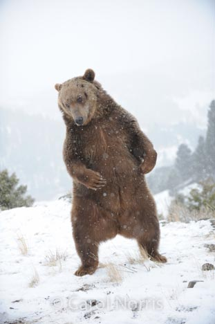 Grizzly-bear-brown-waving