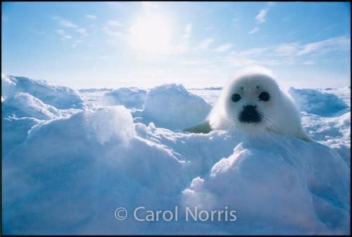 Harp-Seal-Pup-ice flows-Canada