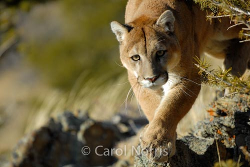 Mountain Lion-Cougar-Montana