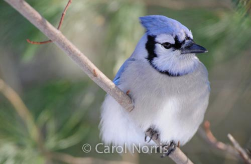 North-American-bird-blue-jay-forest-birds