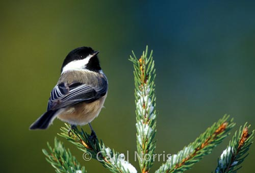 North-American-black-capped-chickadee-spruce-birds