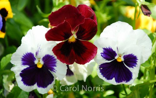 Pansies-flower