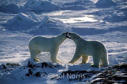 Polar-Bears-Ice-Kissing