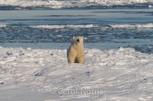 Polar-bear-ice-flows