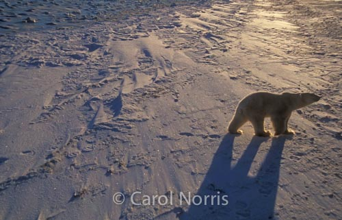 Polar-bear-shadow-ice