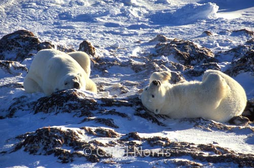 Polar-bears-chilling-snow