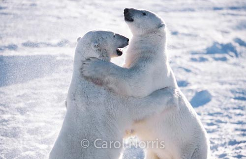 Polar-bears-dancing-hugging-snow