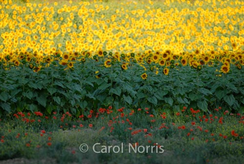 Provence-France-Sunflowers-poppies