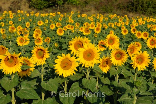 Provence-France-Sunflowers