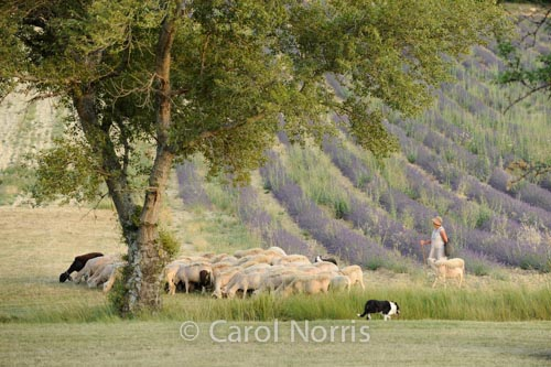 Provence-France-lavender-fields-sheep-goats-sheepdogs-shepherdess