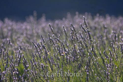 Provence-France-lavender-misty