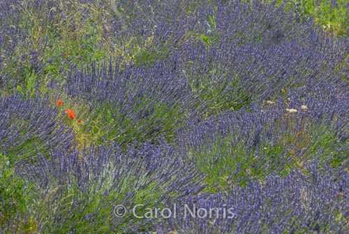 Provence-France-lavender-poppies